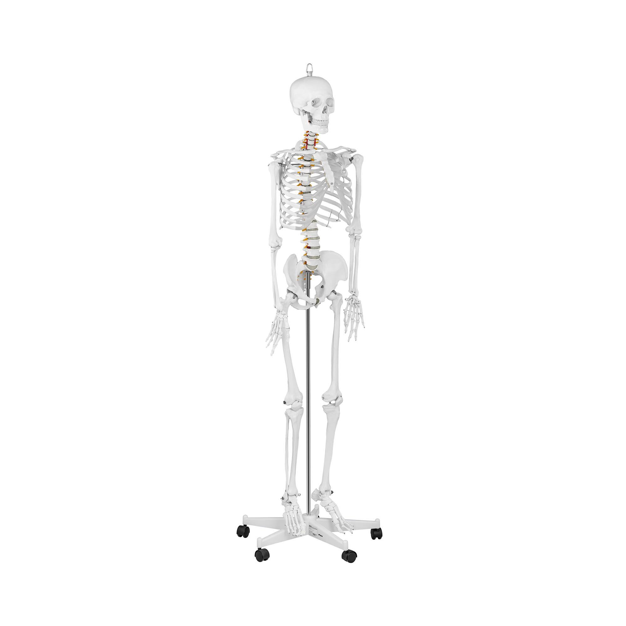 physa Skelett Modell PHY-SK-1 - lebensgroß 10040236