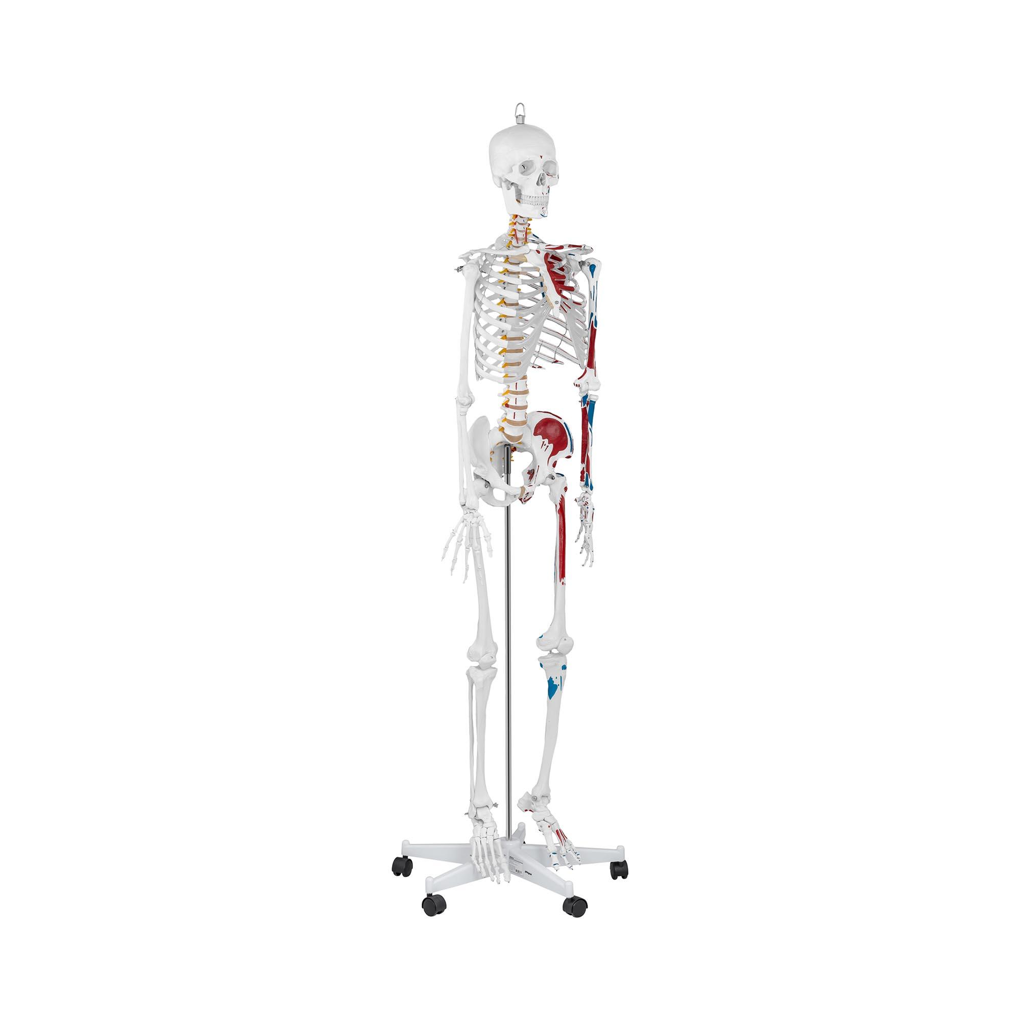 physa Skelett Modell PHY-SK-2 - lebensgroß 10040238