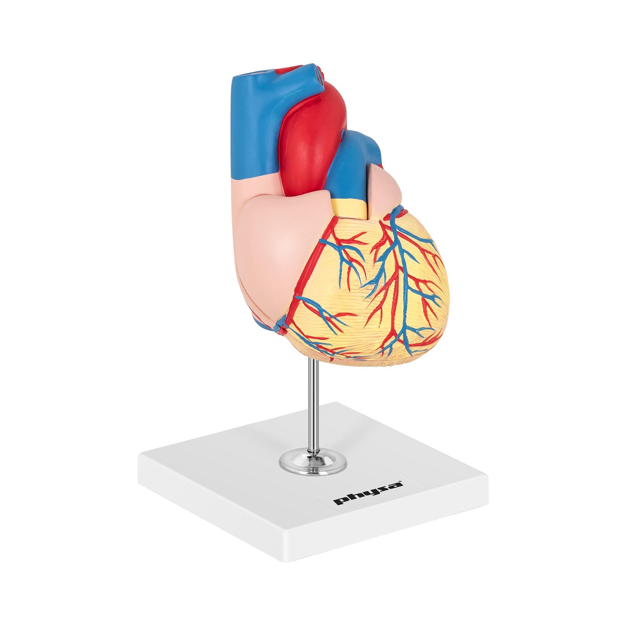 physa Herzmodell - in 2 Teile zerlegbar - Originalgröße 10040318